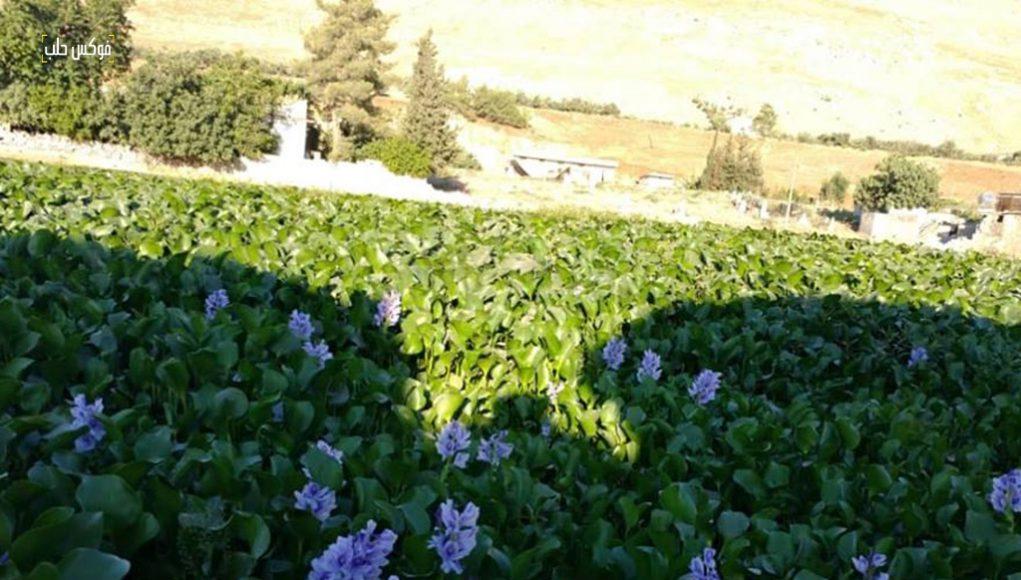 انتشار زهرة النيل في قرية الحواش شمال سهل الغاب.