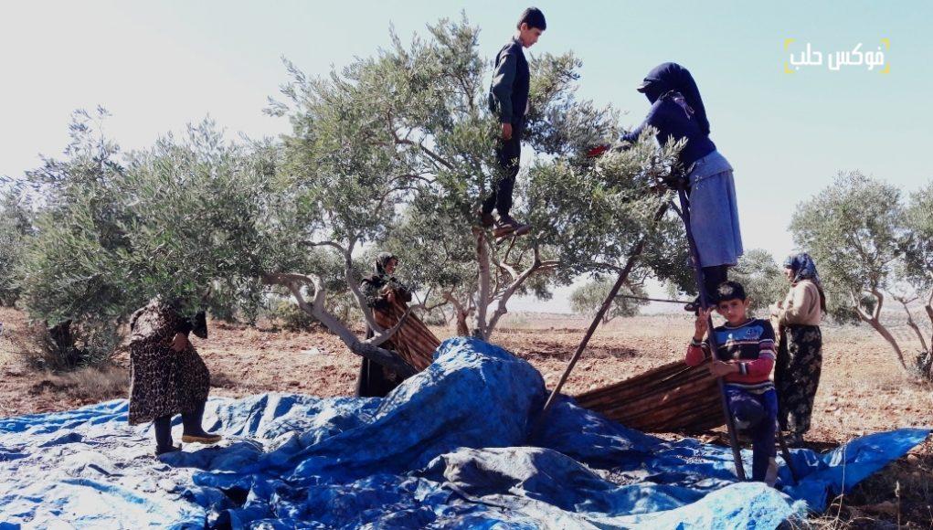 الناس يقطفون الزيتون في محافظة إدلب.