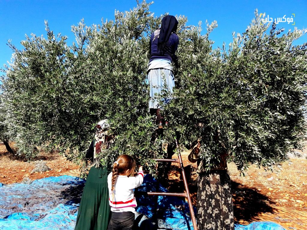 استخدام السلالم لقطاف الزيتون في قرية ترملا ريف ادلب