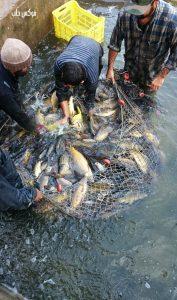 اصطياد الأسماك في واحد من أحواض سهل الغاب.