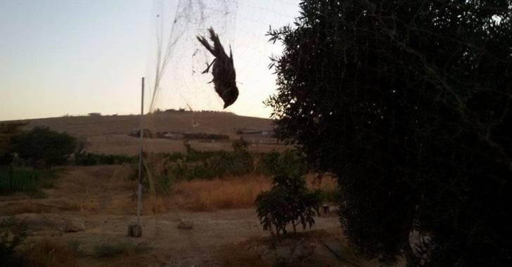 شبكة لصيد طائر التين -إنترنيت