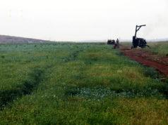زراعة اليانسون في ريف إدلب الجنوبي