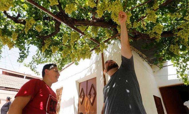 العنب الاخضر أفضل الأنواع لصناعة الدبس -إنترنيت
