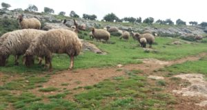 مربو الماشية في مراعي قرية صلوة بريف إدلب -فوكس حلب