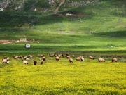 قطعان من الماشية ترعى في سهل الغاب بريف حماه
