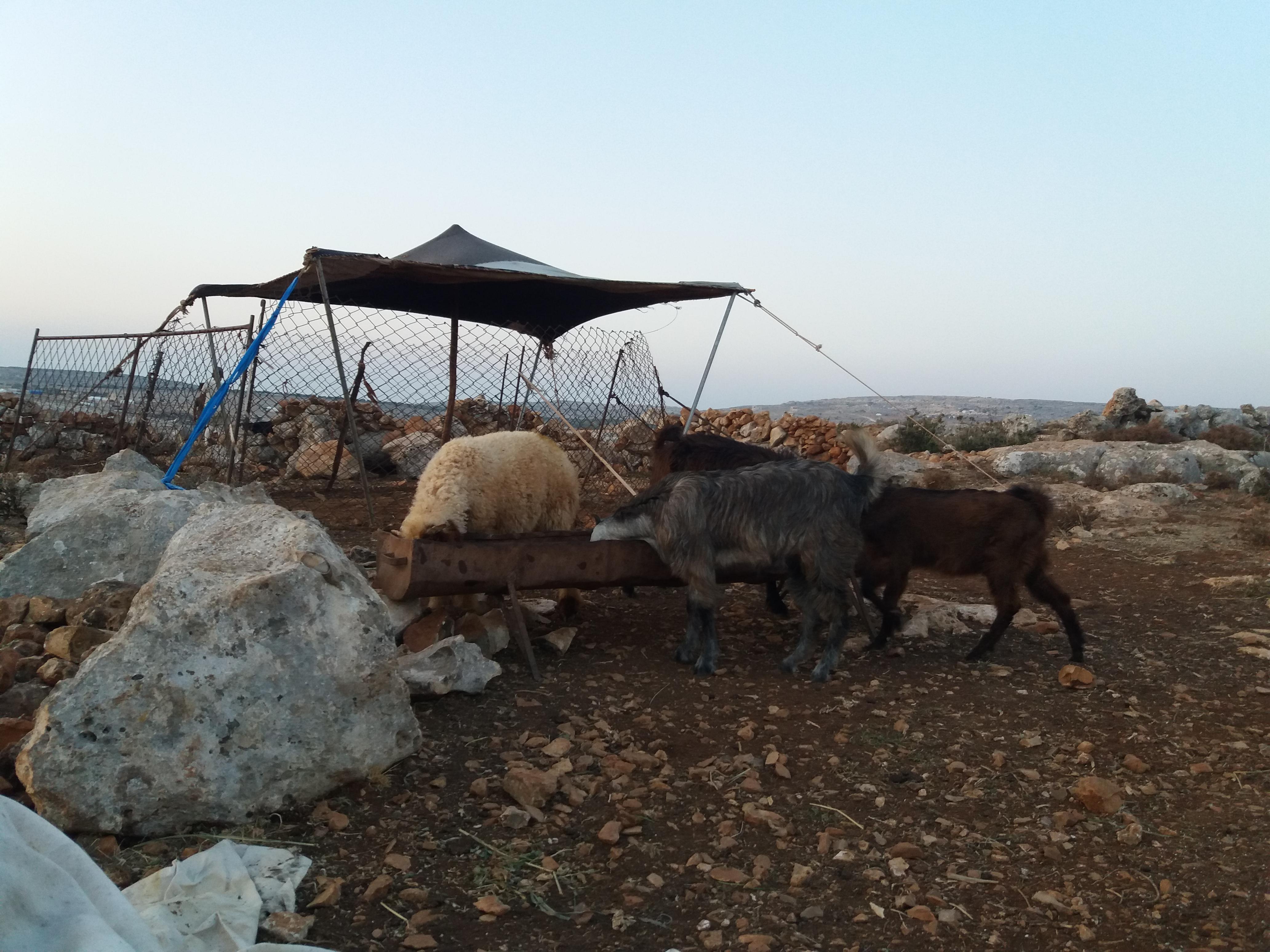 معالف لمواشي البدو بعد فقدان المراعي -فوكس حلب
