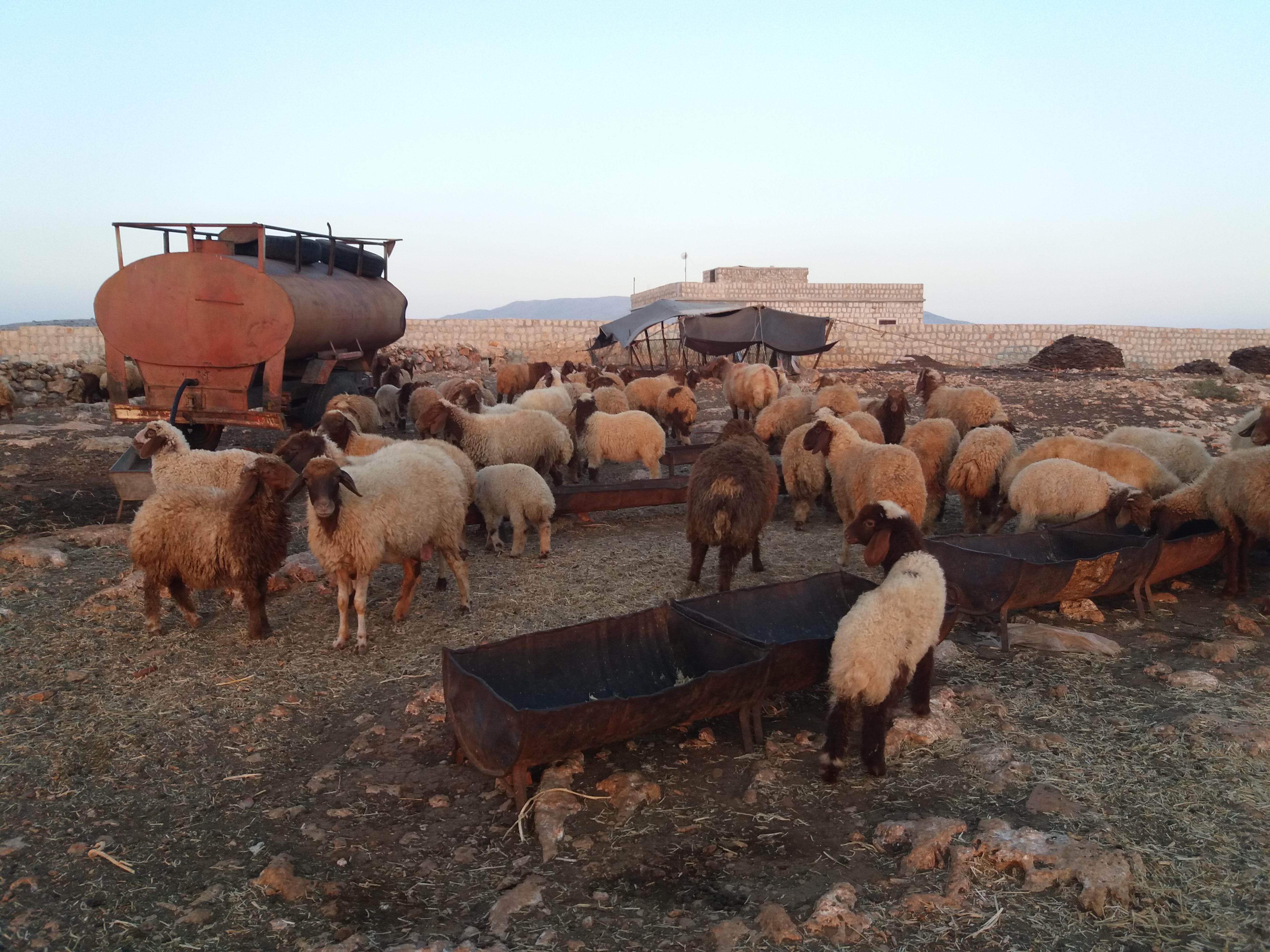قطيع من الماشية للبدو -فوكس حلب