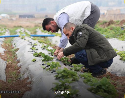 زراعة الفريز الناشئة في منطقة عفرين