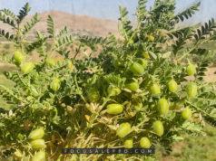 زراعة الحمص في إدلب